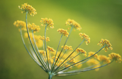 Foeniculum vulgare, Fennel by Carol Sharp
