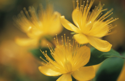 Hypericum, Hypericum by Carol Sharp