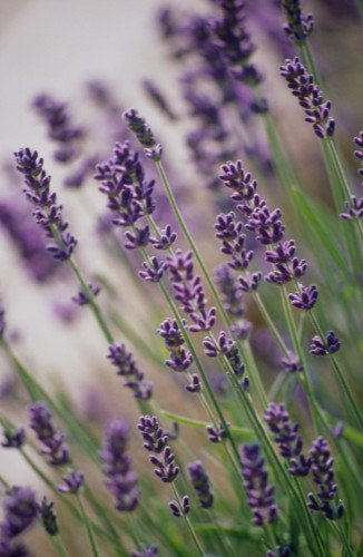 Lavandula augustifolia, Lavender by Carol Sharp