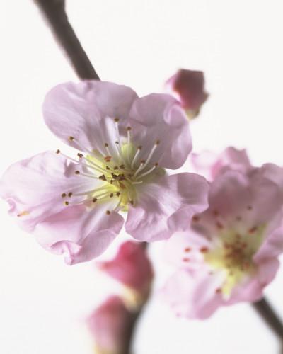 Prunus dulcis, Almond by Carol Sharp