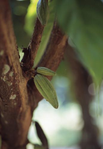 Theobroma cacao, Cocoa bean by Carol Sharp