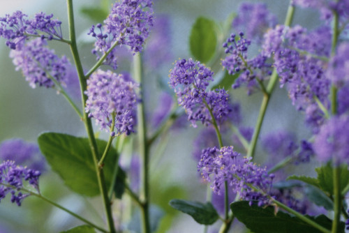 Ceanothus, Californian Lilac by Carol Sharp