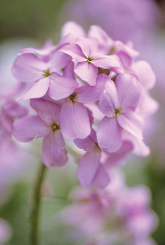 Hesperis matronalis, Sweet rocket, Dame's rocket by Carol Sharp