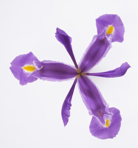 Iris, Iris by Carol Sharp