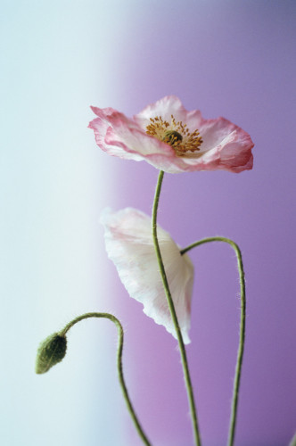 Papaver rhoeas Shirley series, Poppy - Shirley poppy by Carol Sharp