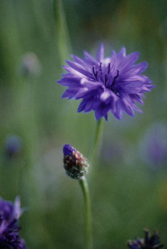 Centaurea cyanus, Cornflower by Carol Sharp