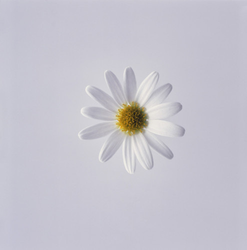 Leucanthemum vulgare, Daisy, Marguerite by Carol Sharp