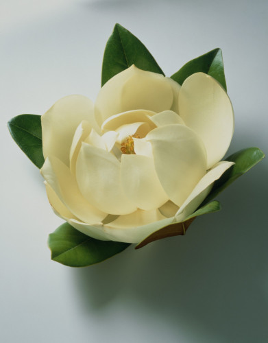 Magnolia grandiflora, Magnolia by Carol Sharp