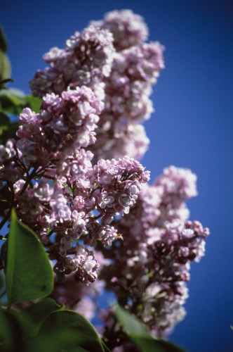 Syringa, Lilac by Carol Sharp