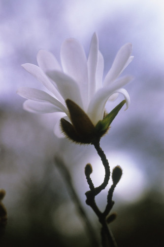 Magnolia stellata, Star magnolia by Carol Sharp
