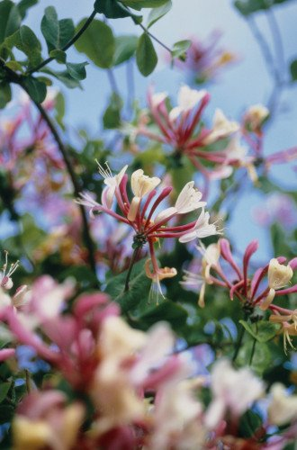 Lonicera, Honeysuckle by Carol Sharp