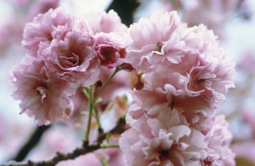 Prunus 'Kanzan', Cherry by Carol Sharp