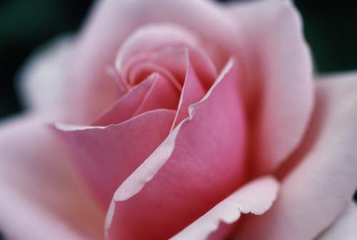 Rosa 'High Hopes', Rose by Carol Sharp