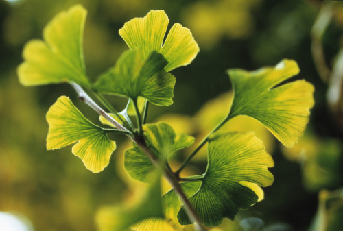 Gingko biloba, Maidenhair tree by Carol Sharp