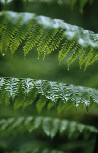 Fern by Carol Sharp