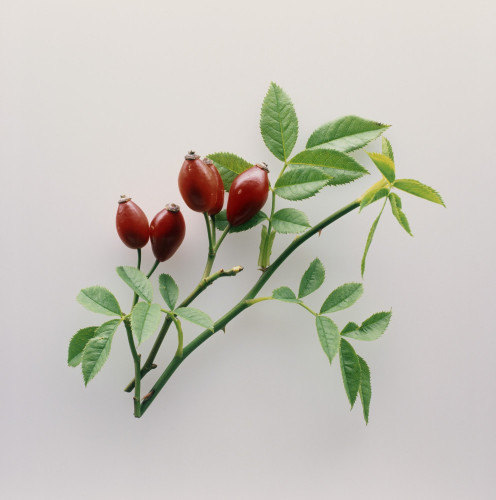 Rosa canina, Rosehip by Carol Sharp