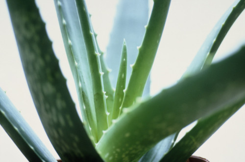 Aloe vera, Aloe vera by Carol Sharp