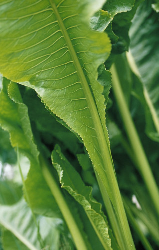 Armoracia rusticana, Horseradish by Carol Sharp