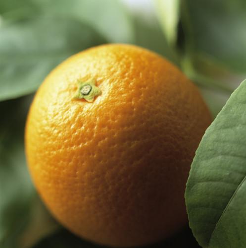 Citrus sinensis, Orange by Carol Sharp