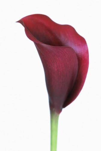Zantedeschia Arum lily Calla lily by CunninghamWaterman