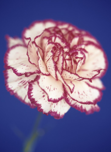 Dianthus, Carnation by Cunningham -Waterman