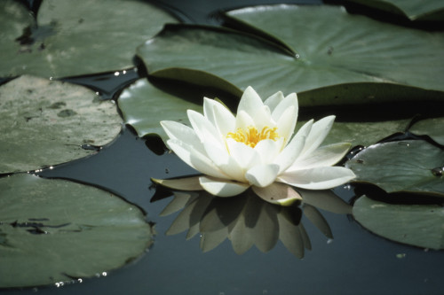 Nymphaea, Water lily by Dave Tully