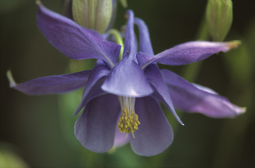 Aquilegia alpina, Aquilegia Columbine by Dave Tully