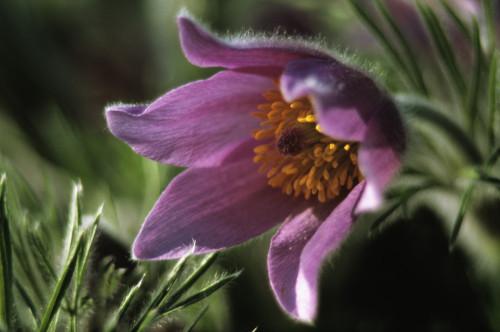 Pulsatilla vulgaris, Pasque flower by Dave Tully
