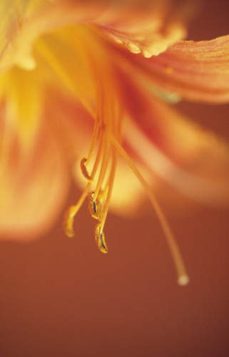 Hemerocallis, Daylily by Dave Zubraski