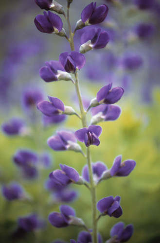 Lupinus albifrons, Lupin by Dave Zubraski