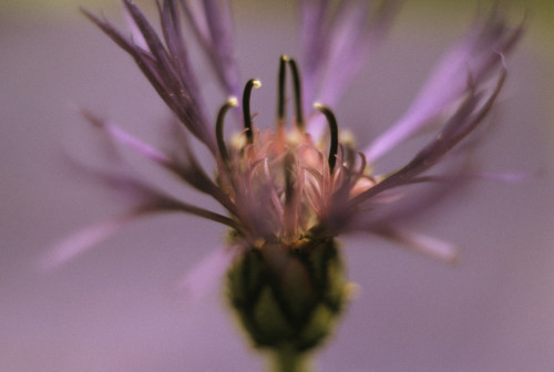 Knautia macedonica, Cornflower - Perennial cornflower by Grace Carlon