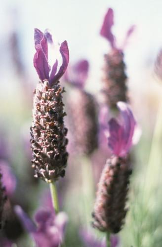 Lavandula stoechas, Lavender - French lavender by Grace Carlon