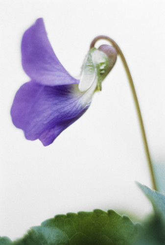 Viola odorata, Violet - Sweet violet by Grace Carlon
