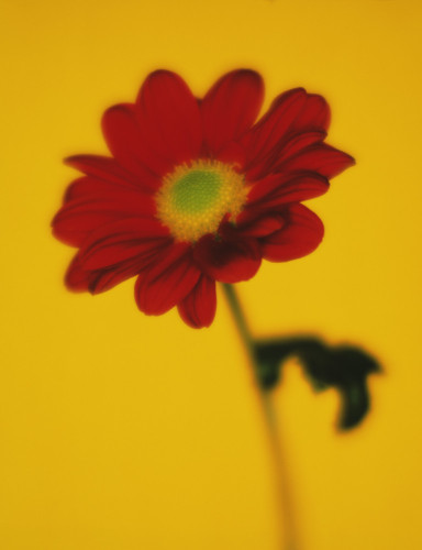 Chrysanthemum, Daisy by Gill Orsman