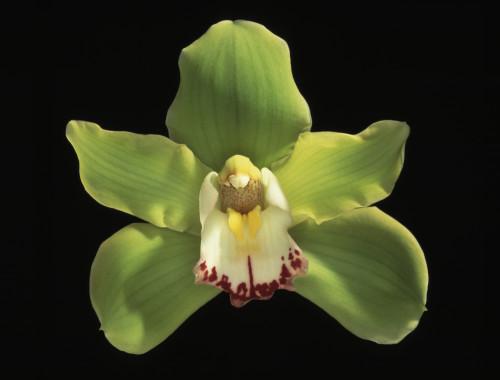 Cymbidium, Orchid by Gill Orsman