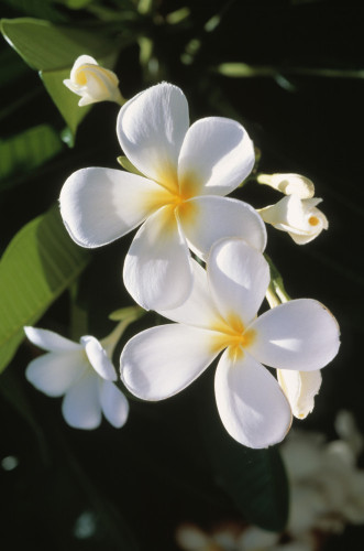 West Indian Jasmine by Gill Orsman