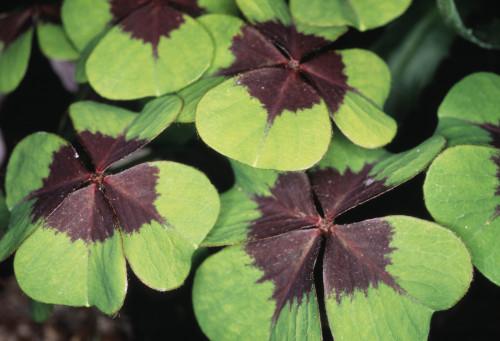 Oxalis tetraphylla 'Iron Cross', Lucky clover by Gill Orsman