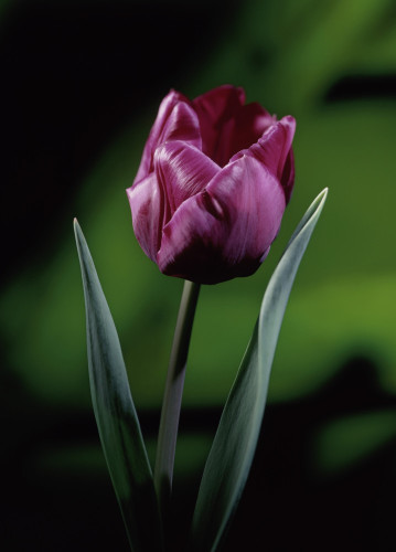 Tulipa, Tulip by John Beedle