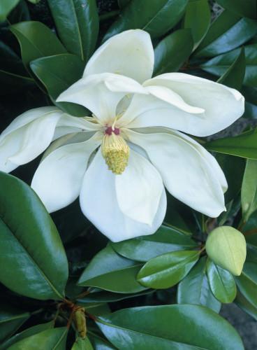 Magnolia grandiflora, Magnolia by John Beedle