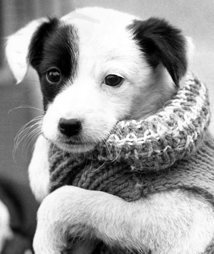 A six week old puppy by Mirrorpix