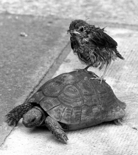 Ben the tortoise and a rescued thrush by Mirrorpix