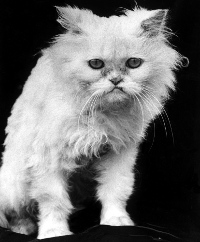 White angry cat looking grumpily by Mirrorpix