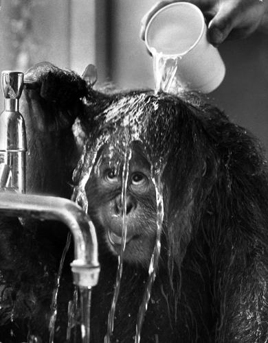 Orangutan by Mirrorpix
