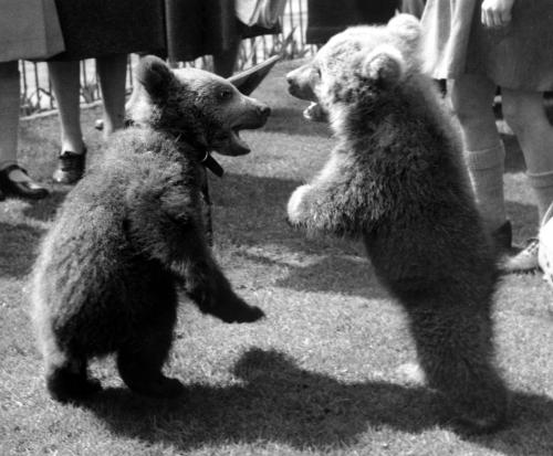 2 bear cubs standing by Mirrorpix