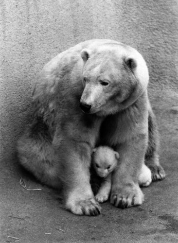 Polar Bear, 1971 by Mirrorpix
