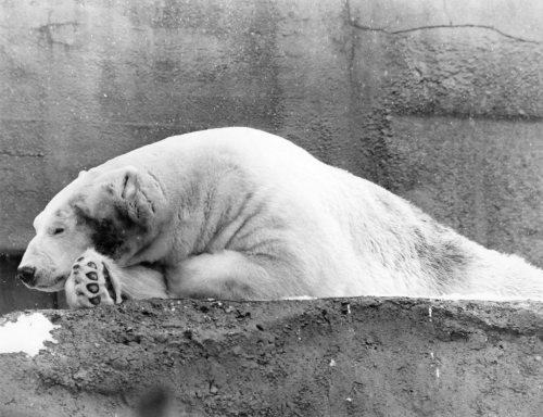 Polar Bear Dozy by Mirrorpix
