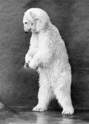 Polar Bears, Pipaluk by Mirrorpix
