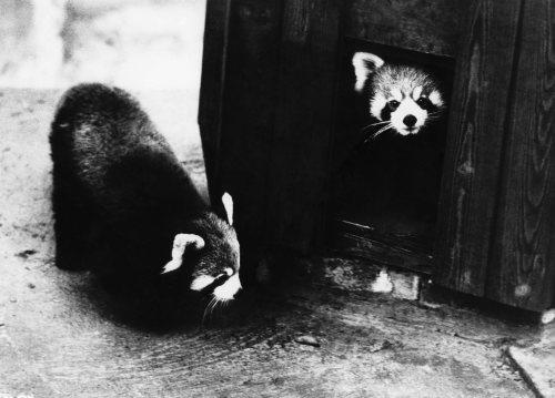 Red Pandas by Mirrorpix