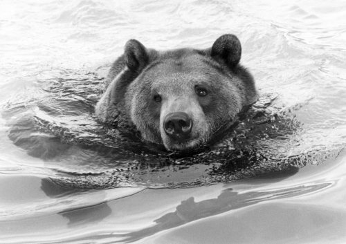 Cooling off, Hercules the Bear by Mirrorpix