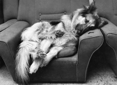 Betty the Alsatian by Mirrorpix